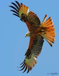 adelaar heel mooi